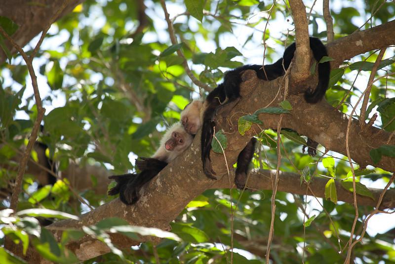 White-faced capuchin monkeys (cebus capucinus).