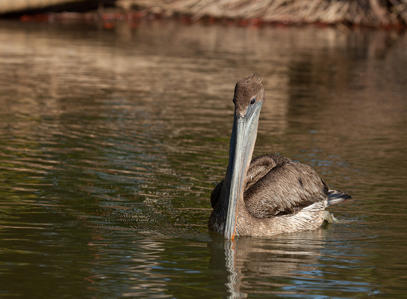 Brown Pelican (pelecanus occidentalis).