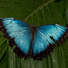 """Blue Morpho, <a href=""""http://butterflyconservatory.org/"""">El Castillo Butterfly Conservatory</a>."""
