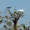 Great Egret (ardea alba) and Little Blue Heron (egretta caerulea).