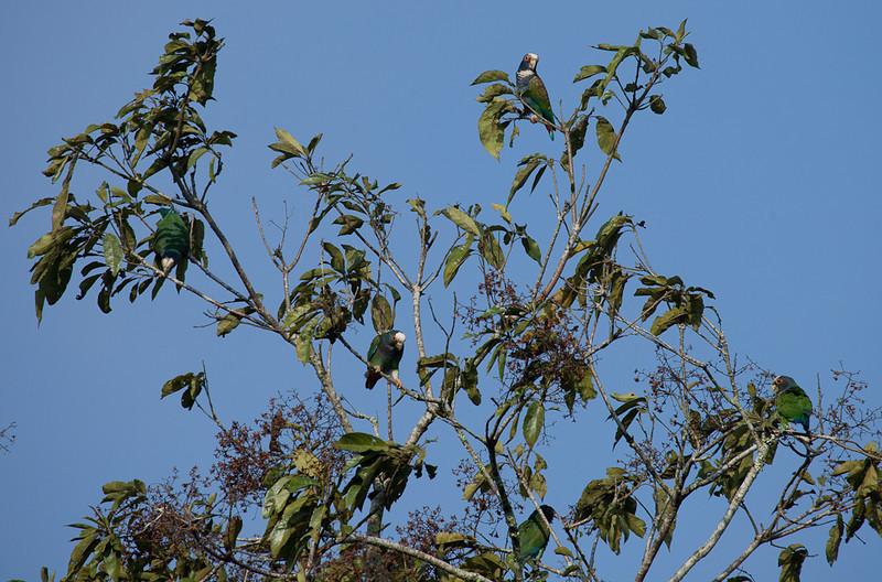 White-crowned Parrots (pionus senilis).