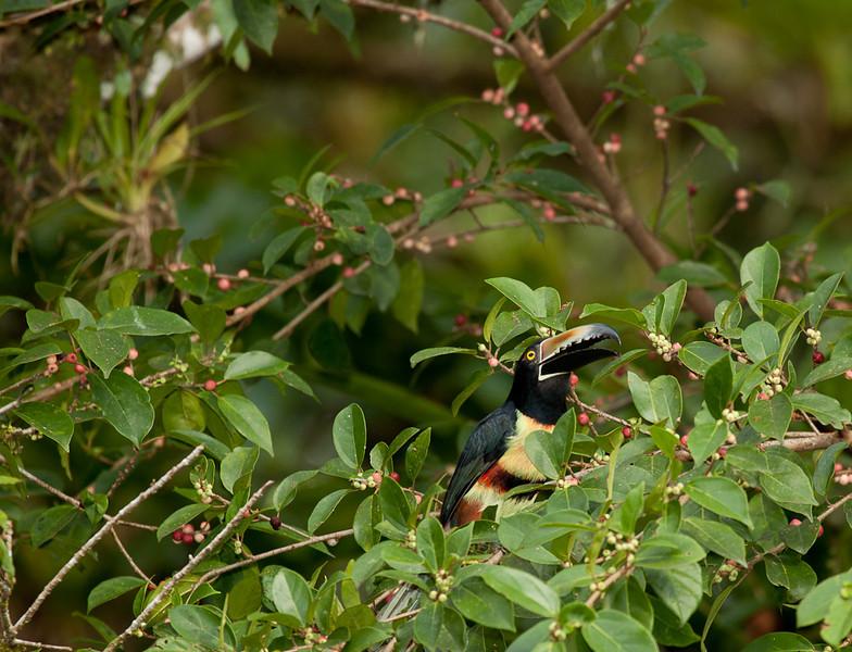 Collared Aracari (pteroglossus torquatus).