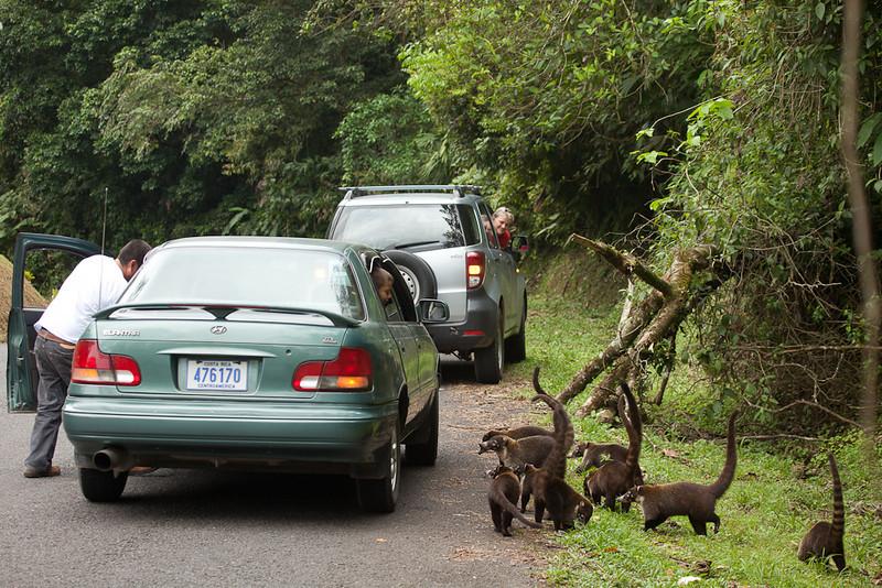 Roadside attraction: Coatis.