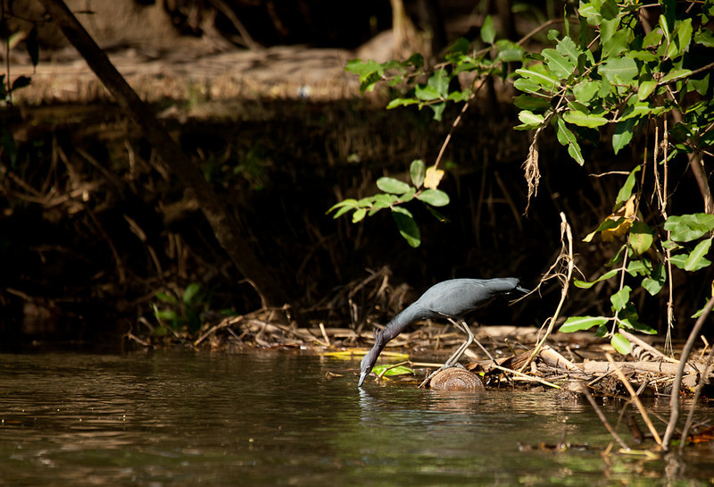 Little Blue Heron (egretta caerulea).