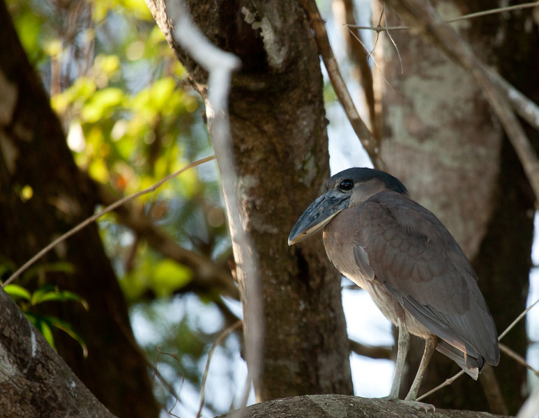 Boat-billed Heron (cochlearius cochlearius).