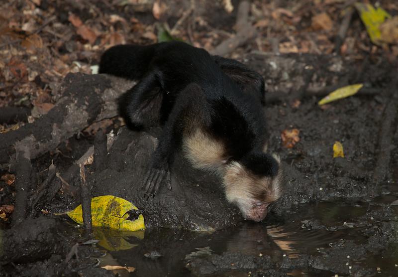 White-faced capuchin monkey (cebus capucinus) drinking.
