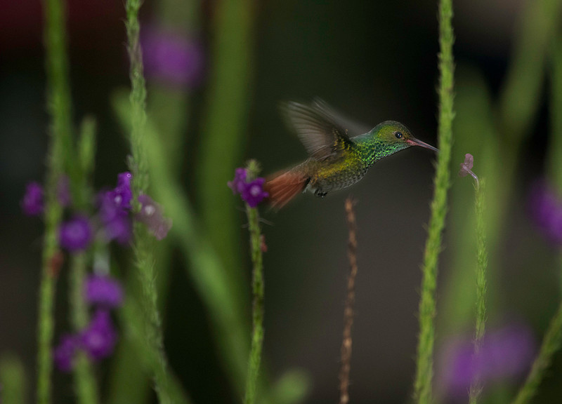 Hummingbird in Arenal
