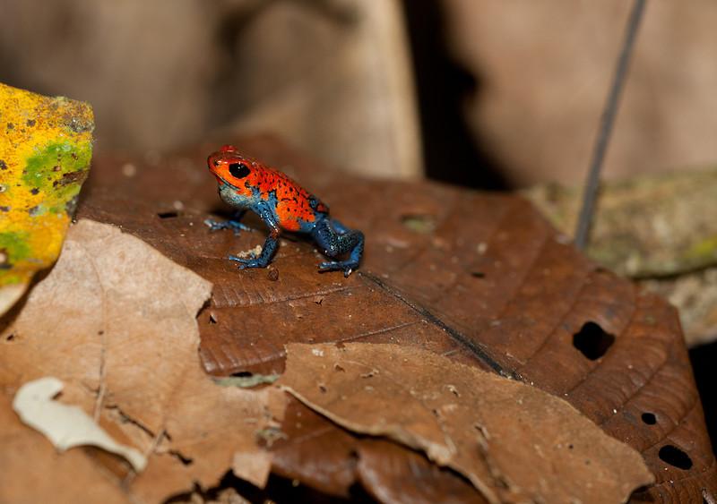Blue jeans frog.