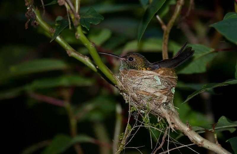 Hummingbird nesting.