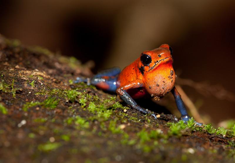 Blue jeans frog calling.