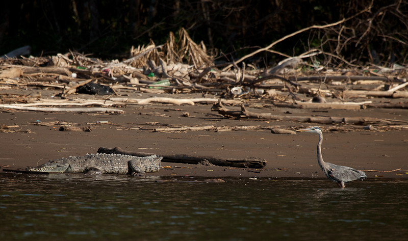 Great Blue Heron (ardea herodias) and crocodile.