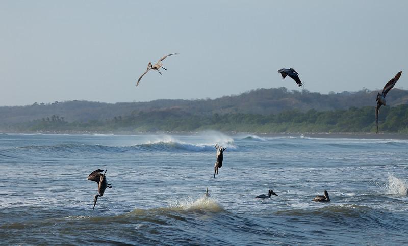 Pelicans diving at Boca Nosara.