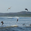 Pelicans diving at Boca Nosara.