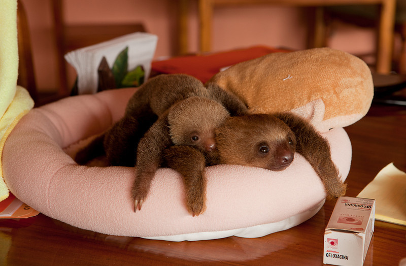 "Young two-toed sloths at the <a href=""http://www.slothrescue.org/"">Sloth Rescue Center</a>, Cahuita."
