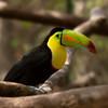 Keel-billed Toucan (ramphastos sulfuratus), Las Pumas Rescue Shelter, Canas.