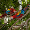 Scarlet macaws (ara macao), Limonal.