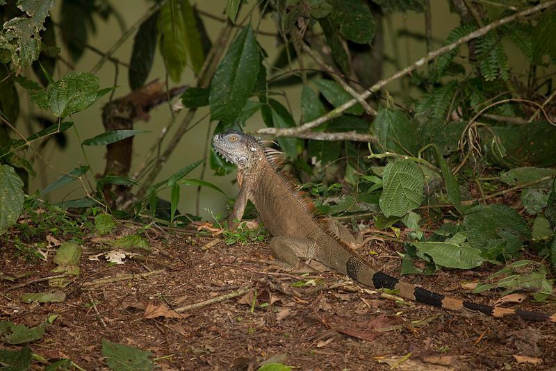 Iguana in La Selva