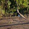 Southern Lapwing(vanellus chilensis).