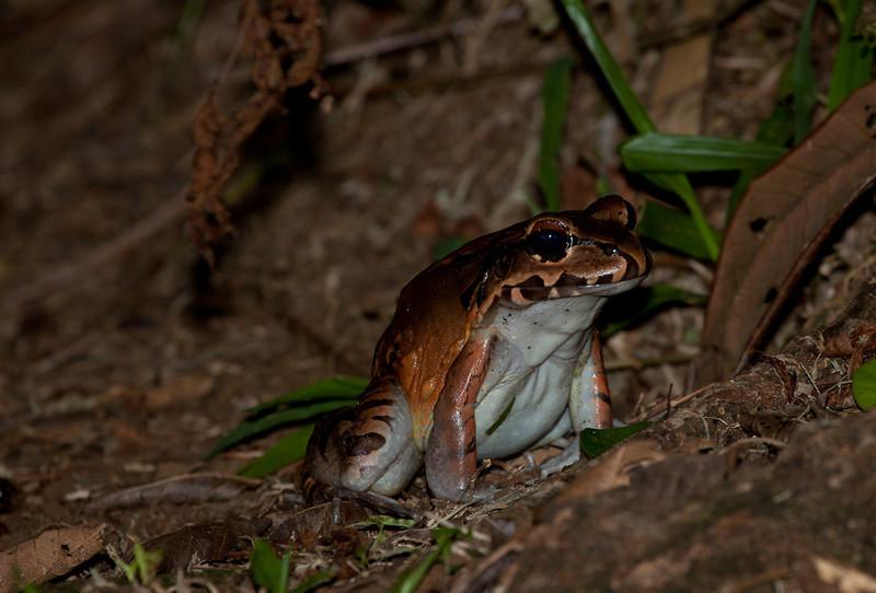 Bull frog (rana ternero).