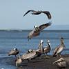 Pelicans landing.