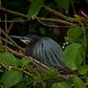 Green heron (butorides virescens) nesting.