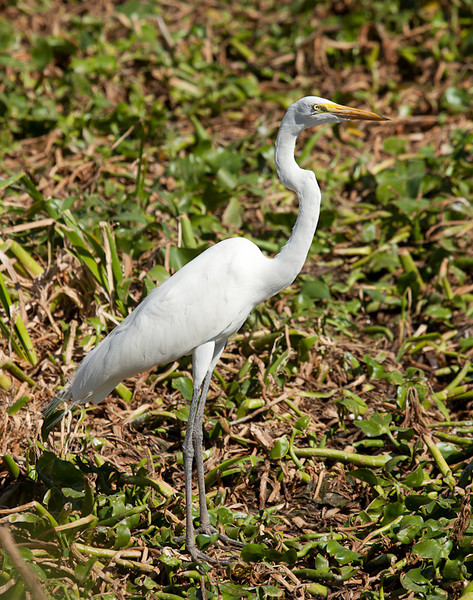 Great Egret (ardea alba).
