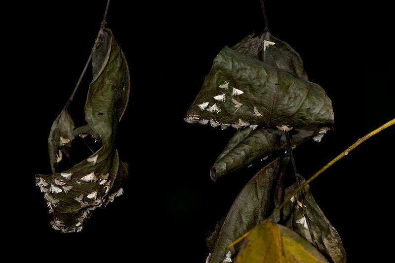 Moths on leaves.