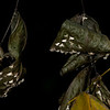 Moths on leaves.