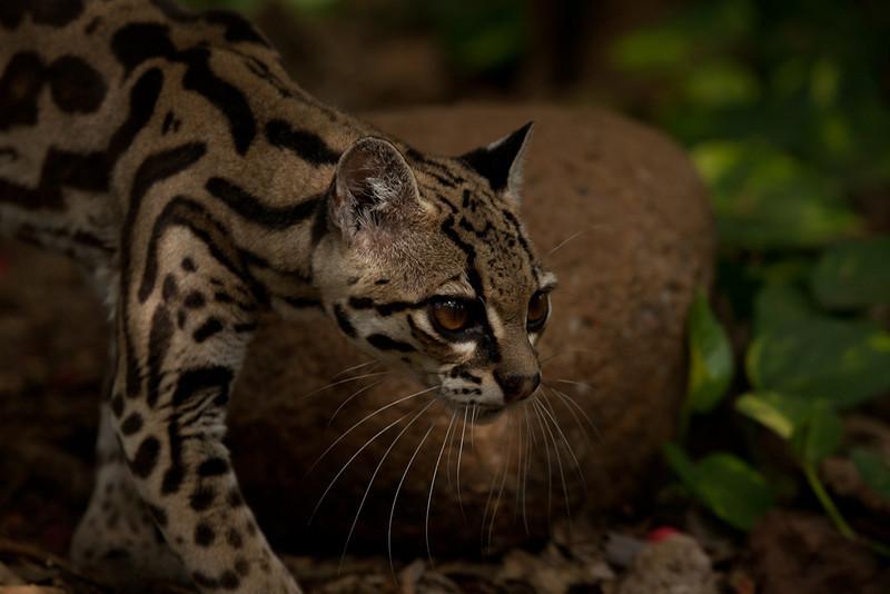 Cat, Las Pumas Rescue Shelter, Canas.