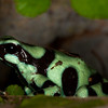 Green-and-Black Poison Dart Frog (dendrobates auratus).