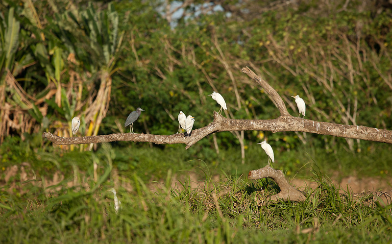 Cattle Egrets (bubulcus ibis) and Little Blue Heron (egretta caerulea) on dead tree.