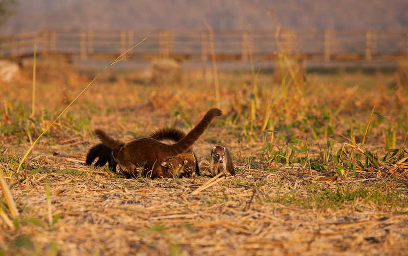 Coati mundis at sunset, Palo Verde National Park.