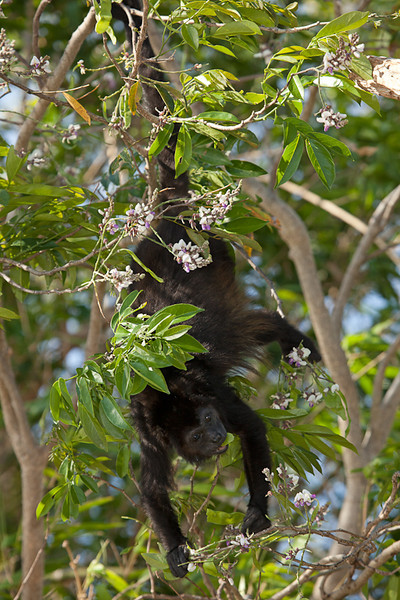 Howler monkey eating leaves upside-down.