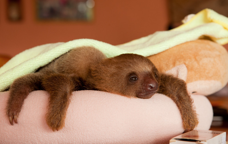 """Young two-toed sloth at the <a href=""""http://www.slothrescue.org/"""">Sloth Rescue Center</a>, Cahuita."""