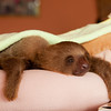 "Young two-toed sloth at the <a href=""http://www.slothrescue.org/"">Sloth Rescue Center</a>, Cahuita."