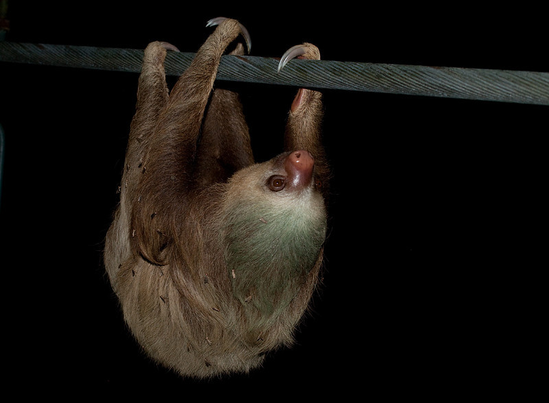 Two-toed sloth on the suspension bridge in La Selva Biological Station, Sarapiqui.