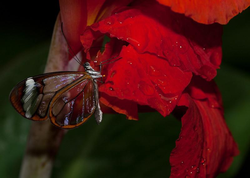 """Greta Oto, <a href=""""http://butterflyconservatory.org/"""">El Castillo Butterfly Conservatory</a>."""