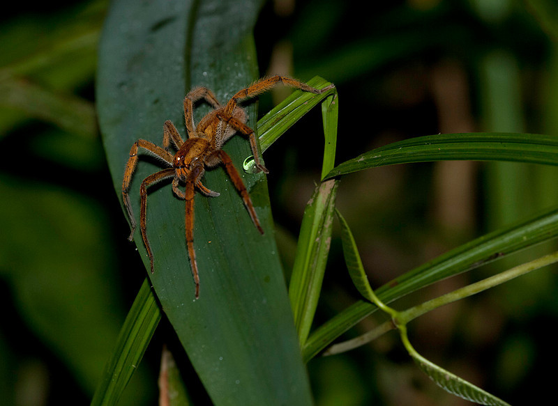 Tarantula in La Selva