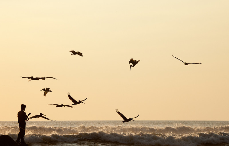 Pelicans diving at Boca Nosara at sunset.