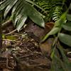 Aguti in La Selva