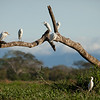 Cattle Egrets (bubulcus ibis) on dead tree.