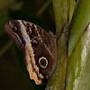 """Butterfly, <a href=""""http://butterflyconservatory.org/"""">El Castillo Butterfly Conservatory</a>."""