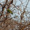White-crowned Parrot (pionus senilis).