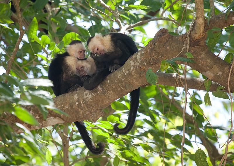 White-faced Capuchin (Cebus capucinus) in PaloVerde National Park, Costa Rica.
