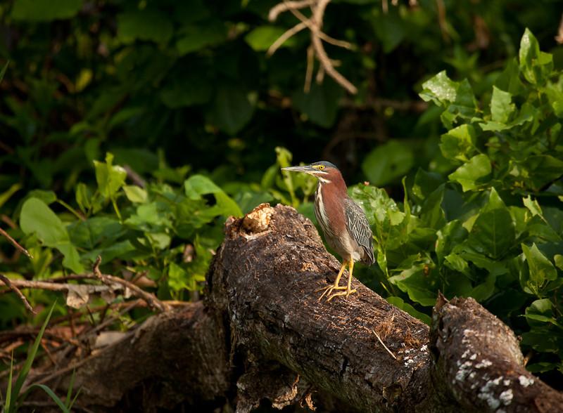 Green heron (butorides virescens).