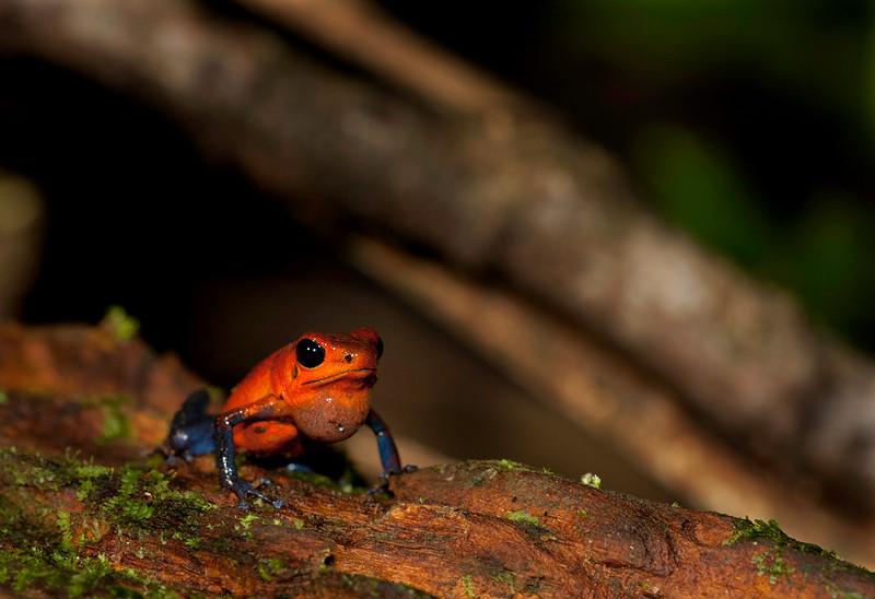 Blue Jeans Frog, La Selva