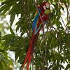 Scarlet macaw (ara macao), Limonal.