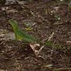 Emerald (Plumed) Basilisk (basiliscus plumifrons).