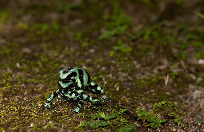 Green-and-Black Poison Dart Frogs (dendrobates auratus) mating.