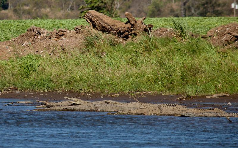 Crocodiles in the Rio Tarcoles.